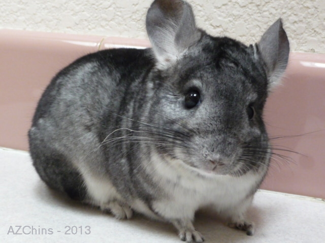 Alfonso - Standard Grey Male