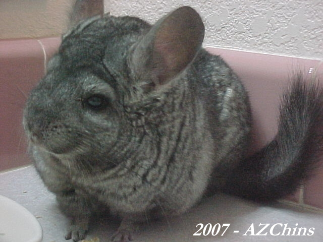 chinchilla mature singles Here you will find answers to some of the most frequently asked questions about chinchillas for more information please visit the appropriate pages on.
