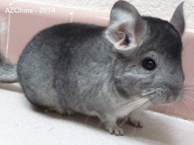 Makena - Standard Grey Female